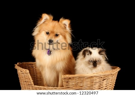 close up of pomeranian puppy dog and himalayan persian kitten in cane wicker basket against black background - stock photo