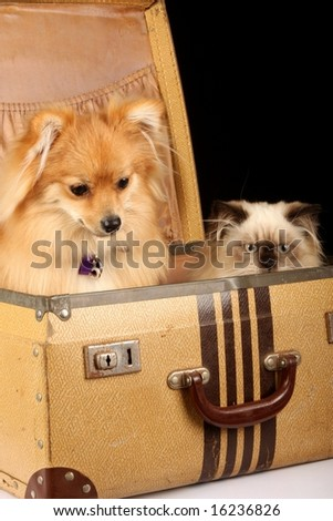 close up of pomeranian puppy dog and himalayan persian kitten in old fashioned suitcase against black background - stock photo