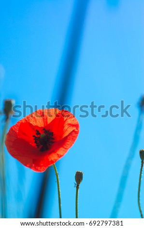 Close up of poppy red on a superb blue sky without clouds.