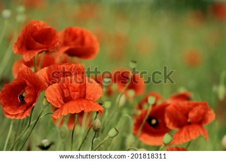 close up of poppy, selective focus with copy space - stock photo