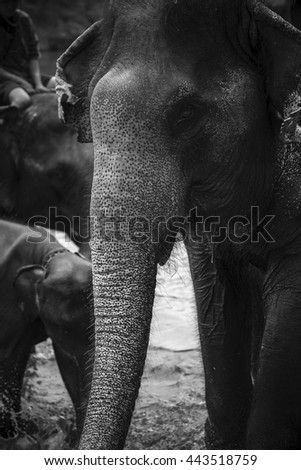 Close up of portrait of an asian elephant in black and white. - stock photo
