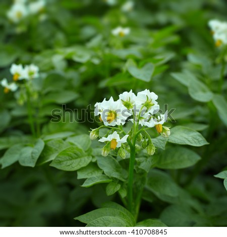 Close up of Potato plants flowering showing white flowers. - stock photo