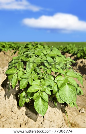 Close up of potatoes on the field - stock photo