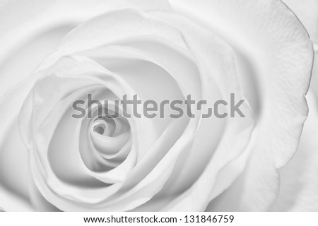 close up of precious rose bud. - stock photo