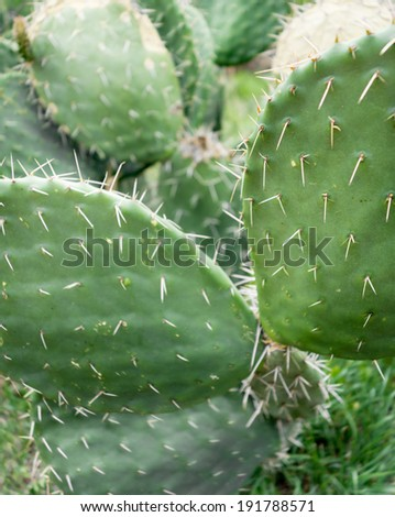 Close-up of Prickly pear cactus - stock photo