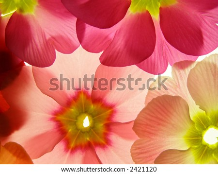 Close-up of primula flower against white background - stock photo