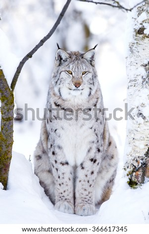 Close-up of proud lynx cat in the winter forest - stock photo