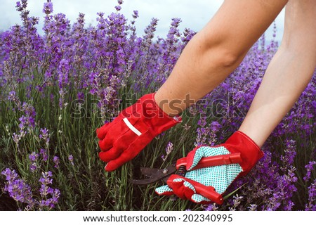 Close-up of pruning lavender with the pruner - stock photo