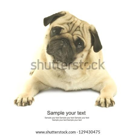 Close-up of Pug - stock photo