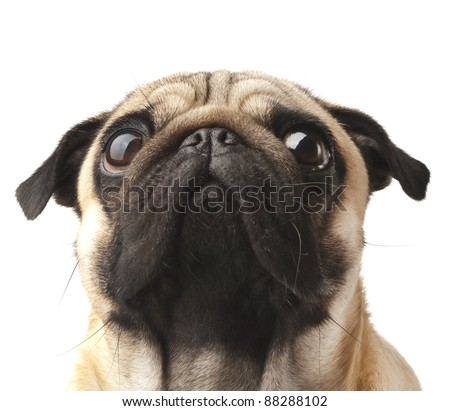 Close-up of Pug - stock photo