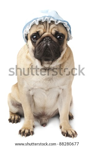 Close-up of Pug in blue cap - stock photo