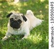Close-up of Pug on the green grass in the garden (Soft focus) - stock photo