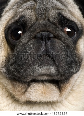 Close-up of Pug, 4 years old - stock photo