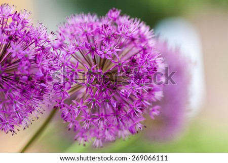 Close up of Purple Allium flower - selective focus - very shallow depth of field - stock photo
