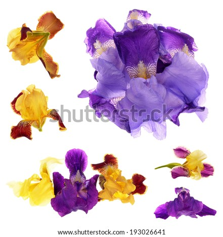 Close-up of  purple and yellow  iris (Iris germanica) isolated against a white background