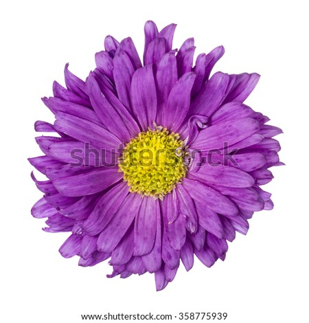Close-up of Purple aster with yellow core isolated on white background. - stock photo