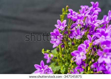 Close up of purple Campanula Portenschlagiana flowers on dark background.  The genus is distributed almost worldwide from arctic to temperate regions of the Northern Hemisphere. Copyspace for text. - stock photo