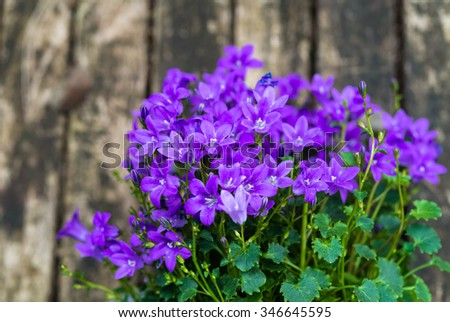 Close up of purple Campanula Portenschlagiana flowers on wooden background.  The genus is distributed almost worldwide from arctic to temperate regions of the Northern Hemisphere. Copyspace for text.  - stock photo