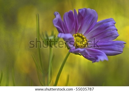 Close Up of Purple Cosmos - stock photo