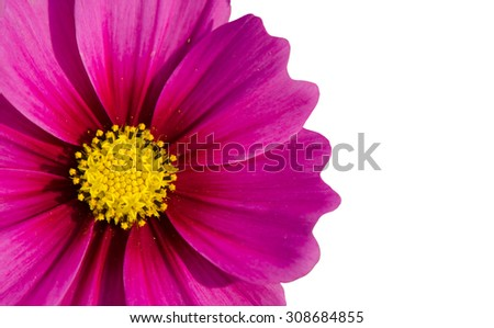 Close up of purple cosmos flower isolated on white  background. - stock photo