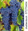 Close up of purple grapes on the vine - stock photo
