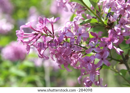 Close-up of purple lilac blossoms shot with shallow Dof focusing on flower cluster. - stock photo