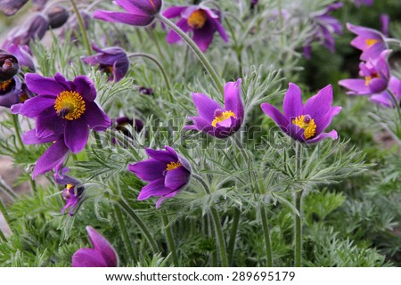 Close up of purple Pasque Flower (Pulsatilla vulgaris)  - stock photo