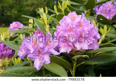 close-up of purple rhododendron flowers
