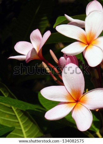 Close up of rainbow plumeria blossom, Kauai, Hawaii - stock photo