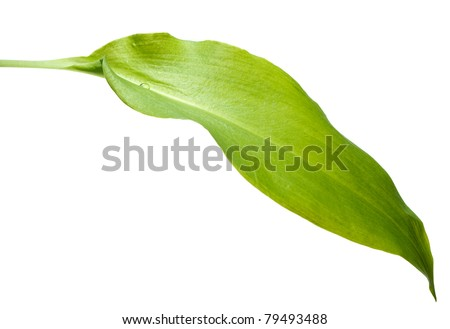 Close-up of ramsons (Allium ursinum) leaf isolated on white with single drop - stock photo