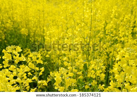 close up of rapeseed flowers on meadow - stock photo