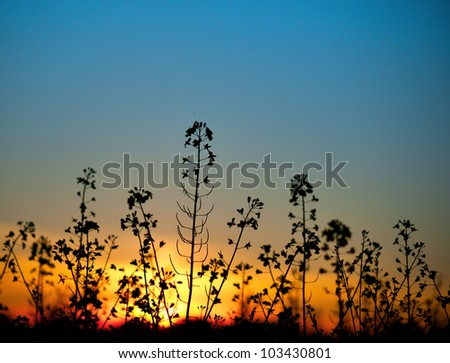 Close up of rapeseed oil plant at sunset