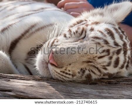 Close up of rare baby white tiger peacefully sleeping  - stock photo