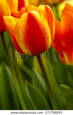 Close up of red and yellow tulip bloom in field on tulip bulb farm - stock photo