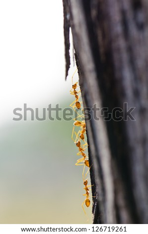 Close up of red ants in nature, Thailand. - stock photo