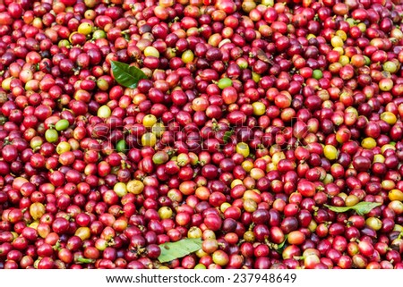 Close up of red Arabica coffee berries background