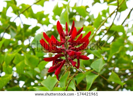 Close up of red Cockspur Coral Tree flower or Erythrina crita-galli L.  - stock photo