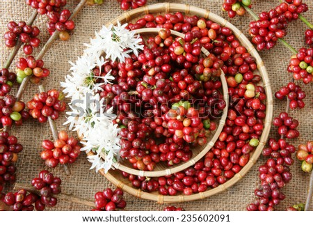 Close up of red coffee bean, agriculture product of Vietnam,  cafe bean in bamboo basket on sackcloth background, amazing shape with fresh ripe berries in vibrant colors - stock photo