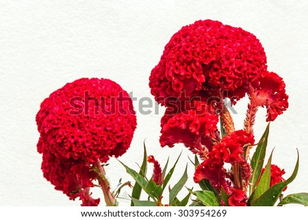 Close up of red color Cockscomb blossom in flower garden on white background - stock photo