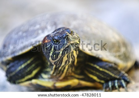 Close up of red eared slider turtle sitting on rock