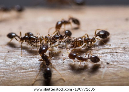 Close up of red imported fire ants (Solenopsis invicta) or simply RIFA - stock photo