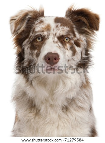 Close-up of Red Merle Border Collie, 6 months old, in front of white background - stock photo