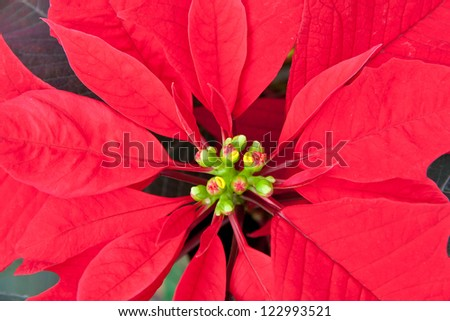 Close up of Red  poinsettia, Christmas flower. selective focus