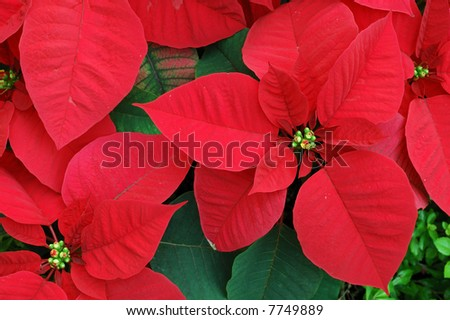 Close up of red poinsettia christmas flowers
