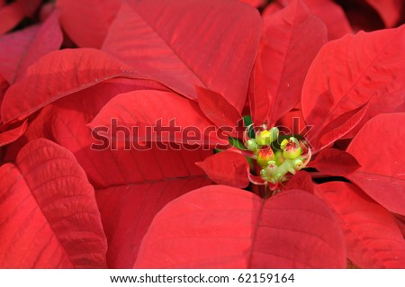 Close up of red poinsettia flowers - stock photo