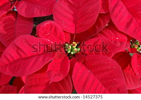 Close up of red poinsettia plant