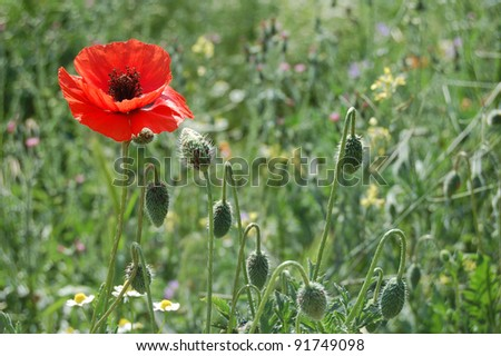 Close-up of red poppy flower in summer. Very low depth of field - stock photo