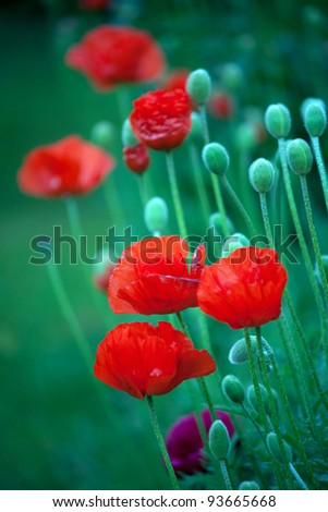 Close up of red poppy flowers and buds - stock photo
