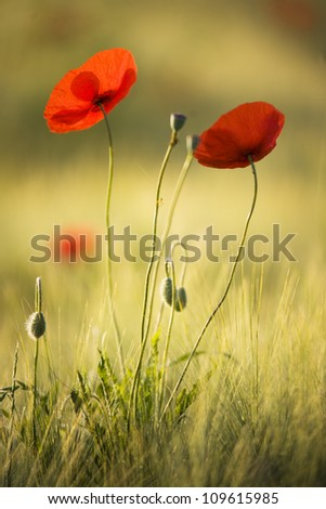 Close-up of red poppy flowers in summer - stock photo