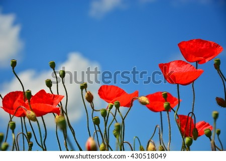 Close-up of red poppy flowers in summer. Very low depth of field